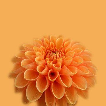 Oranje dahlia van