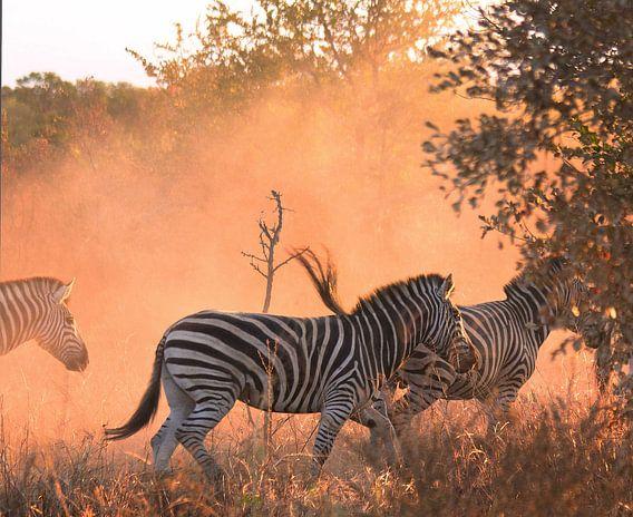 Zebra's in beweging
