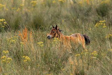 Wildes junges Pferd in der offenen Heide. von Enrique De Corral