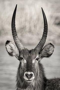 Mannetjes Waterbok in Zuid Afrika van Ed Dorrestein