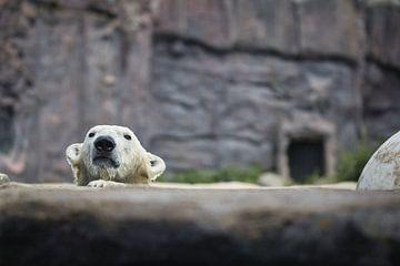 Eisbär von Joel Layaa-Laulhé