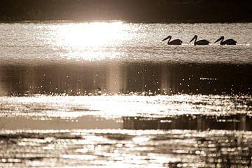 pelikanen von Ronald Jansen