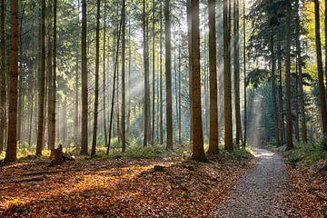 Novembermorgen im Wald von Cor de Hamer