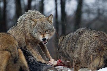 wolven van
