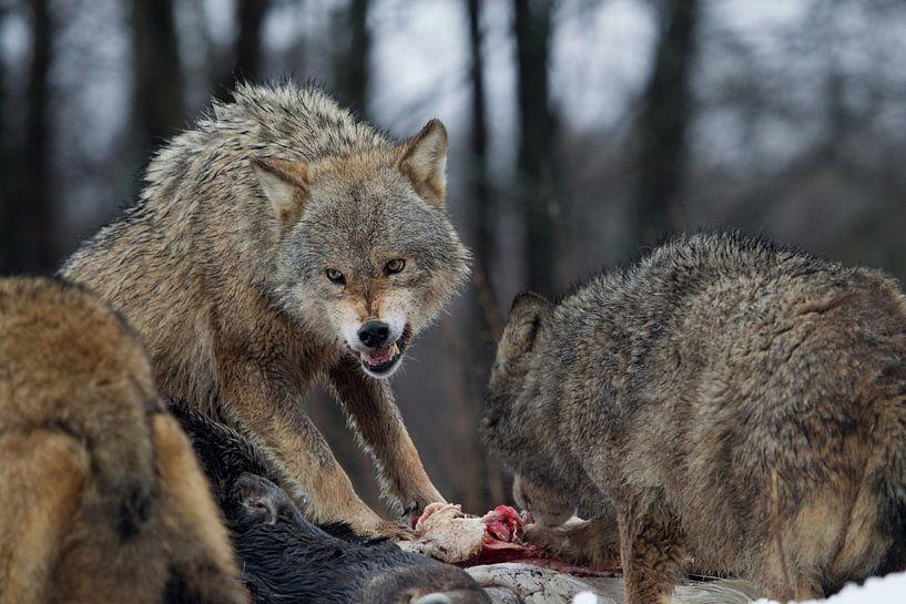 wolven van Ronald Jansen