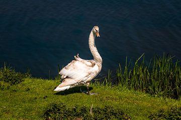 witte zwaan van Frank Ketelaar