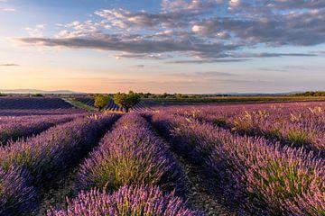 Lavendelblüte in Südfrankreich von Achim Thomae