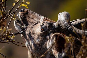 Kudu in Kruger Nationaal Park van videomundum