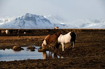 IJslandse paarden van Hans Peter Debets