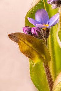 Macro-opname van vergeet-me-nietje bloemen