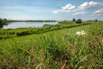 Bloeiend madeliefje op de rand van een Nederlandse dijk met een uitzicht van