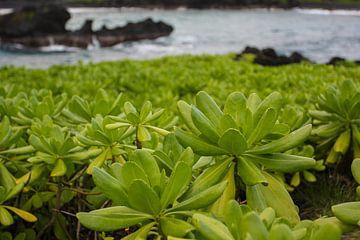 Naupaka on Maui sur Louise Poortvliet