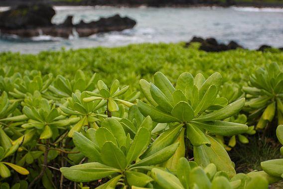 Naupaka  op Maui