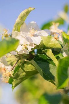 Appel bloesem in de lente van Jeantina Lensen-Jansen