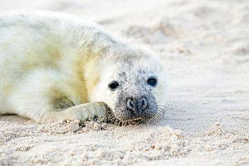 Baby zeehond (Halichoerus grypus) relaxing op het strand van Nisangha Masselink