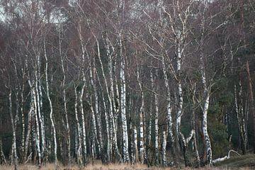 Birkenwald im Winter von whmpictures .com