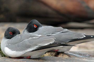 zwaluw staart meeuwen op Galapagos van Marieke Funke