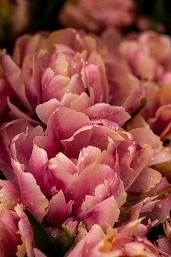 doppelblütige rosa Tulpe im Küchengarten von Margriet Hulsker