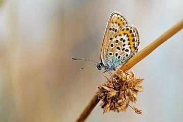 Heideblauwtje (v) in mooie zachte setting van Roosmarijn Bruijns