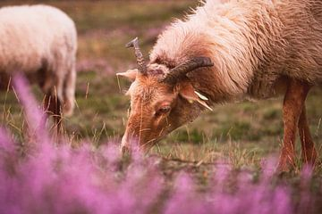 Schafe, die bei Sonnenuntergang auf den blühenden Heideflächen grasen. von Steven Marinus