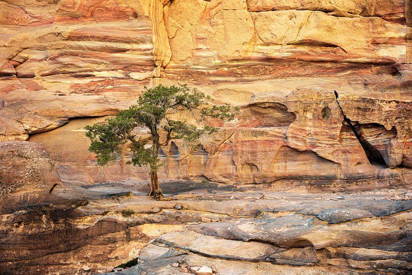 boom op de rotsen - Petra, Jordanië van Jan de Vries