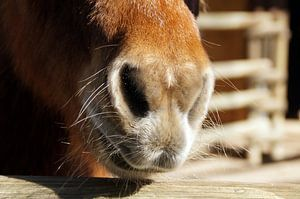 Nostrils of a pony