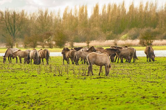 Konikpaarden in het Wild