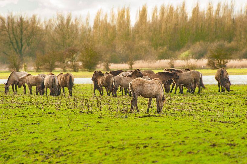 Konikpaarden in het Wild van Brian Morgan