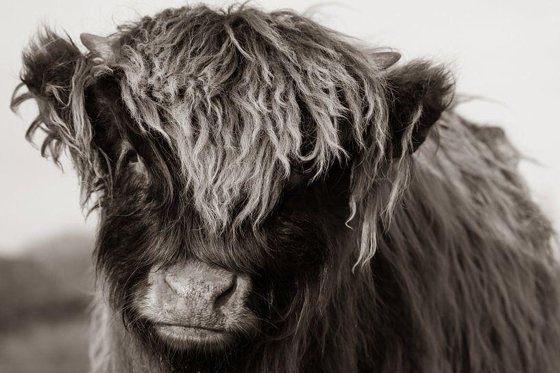 Junger schottischer Highlander (Sepia) von Latifa - Natuurfotografie