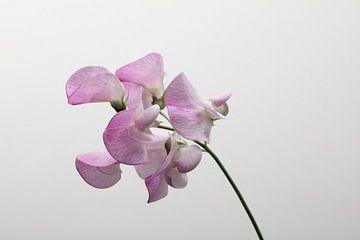 rosa lathyrus mit weißem Hintergrund von anne droogsma