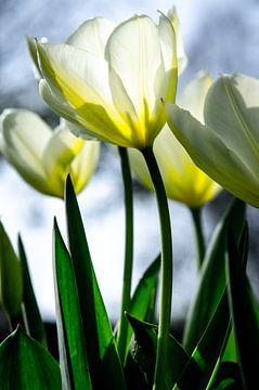witte tulpen van Annemarie Ostendorf