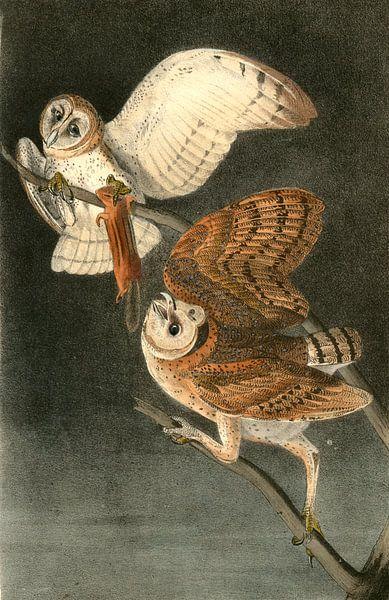 Uil, Barn Owl., Audubon, John James, 1785-1851 van Liszt Collection
