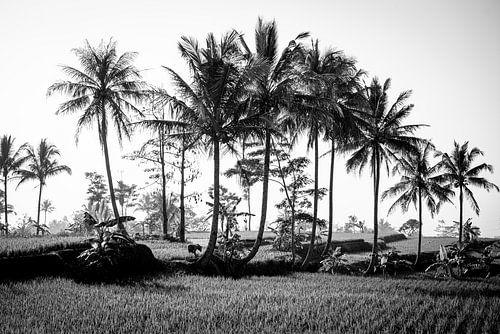 Palmbomen op een rijstveld