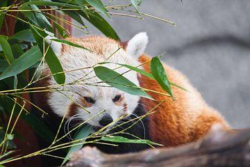 Joli panda rouge (petit panda)Parmi le feuillage du bambou. sur les branches d'un arbre. Gros plan. sur Michael Semenov