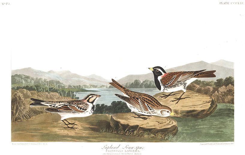 Witbandkruisbek van Birds of America
