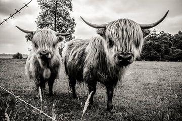 Zwartwitfoto van Schotse Hooglanders in de wei in IJhorst, Overijssel, Nederland van Paul van Putten