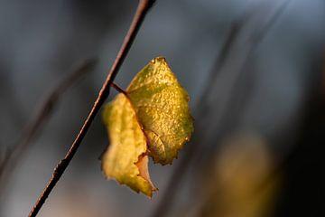 herfstblaadje met dauwdruppels van Tania Perneel