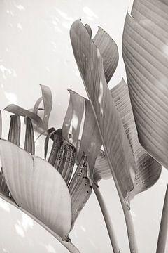 Strelitzia Nicolai im Sonnenlicht - Schwarz und weiß von Photo Atelier