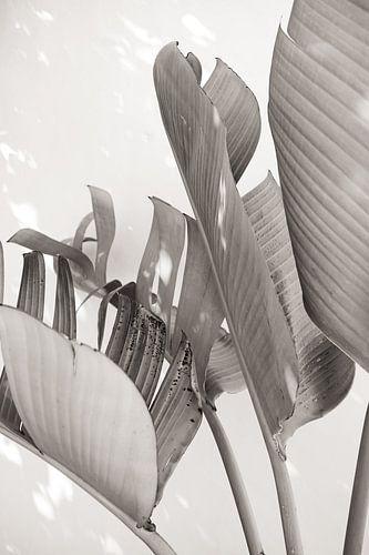 Strelitzia Nicolai in zonlicht - Zwart en wit