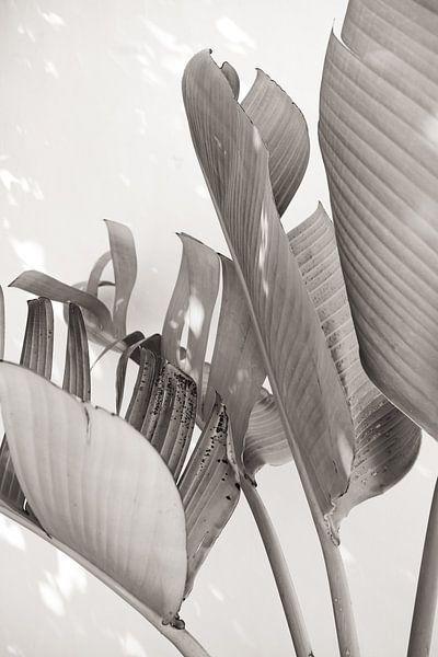Strelitzia Nicolai in zonlicht - Zwart en wit van Photo Atelier