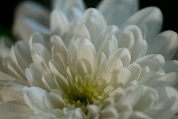 Witte Chrysant van Cora Unk