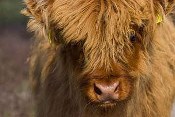 Veau écossais Highlander en gros plan sur Leo Kramp Fotografie