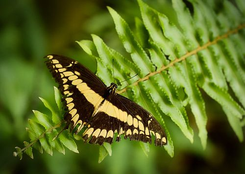Koninginnenpage Papilio machaon