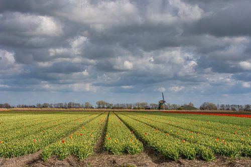 Tulpenbedden met molen