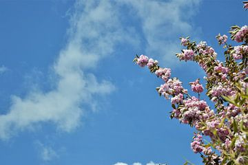 Een Kersenbloesem in de Blauwe Lucht van DoDiLa Foto's