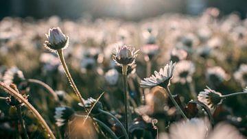 Bloemenveld van Amber Peeters