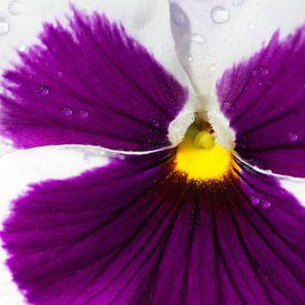 Een paars viooltje van Hilda Weges