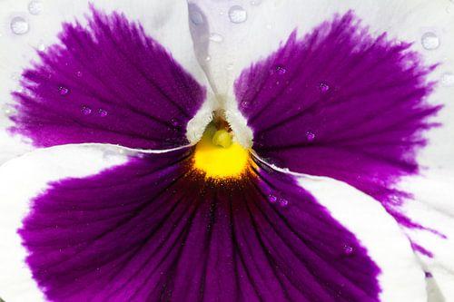 Een paars viooltje van