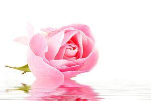 Roze bloeiende roos close up van