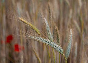 Das Korn schwankt im Wind hin und her von Els Peelman